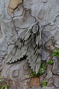 Pine hawkmoth {Sphinx pinastri} Dorset, UK  -  Robert Thompson