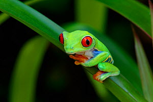 Red-eyed tree frog {Agalychnis callidryas} resting on Bromeliad leaf, Nicaragua, June  -  Robert  Thompson