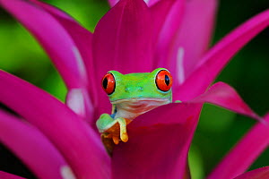 Red-eyed tree frog {Agalychnis callidryas} resting in Bromeliad flower, Nicaragua, June - Robert Thompson