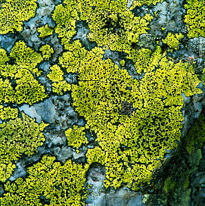 Map lichen {Rhizocarpon geographicum} on stones, France  -  Robert Thompson