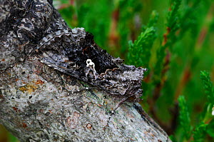 Scarce silver y moth {Syngrapha interrogationis} camouflaged on trunk, Peatlands Park, County Armagh, Northern Ireland, UK - Robert Thompson