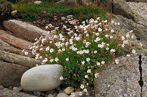 Sea campion {Silene uniflora} Malin Peninsula, County Donegal, Republic of Ireland, July  -  Robert Thompson