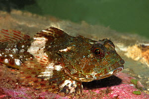 Sea scorpion {Taurulus bubalis} Portaferry, Strangford, County Down, Northern Ireland, UK, April  -  Robert Thompson