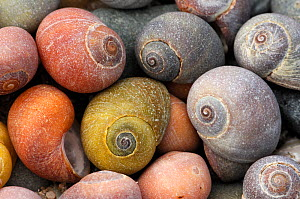 Smooth / Flat periwinkle {Littorina littoralis} shells, UK  -  Robert Thompson