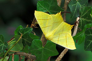 Swallow-tailed moth {Ourapteryx sambucaria} Peatlands Park, County Armagh, Northern Ireland, UK  -  Robert Thompson
