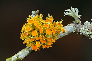 Lichen {Teloschistes chrysophthalus} on Hawthorn branch, North Timoleague, West Cork, Republic of Ireland, March  -  Robert Thompson