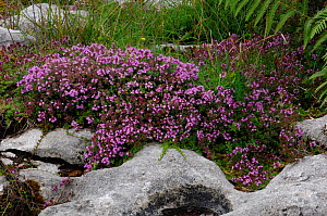 Wild thyme {Thymus vulgaris} North Burren, County Clare, Republic of Ireland, July  -  Robert Thompson