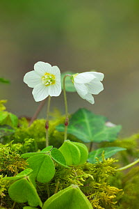 Wood sorrrel {Oxalis acetosella} Clare Glen, Tandragee, County Armagh, Northern Ireland, UK - Robert  Thompson