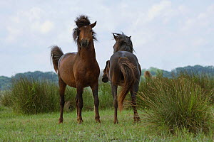 Two feral stallions fighting in the Letea Forest, Danube Delta Biosphere Reserve, Romania, June 2009 - Kristel Richard