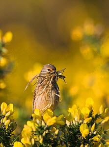 Linnet {Carduelis cannabina} perched on gorse, carrying nest material, Norfolk, UK, April - David Tipling