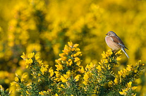 Linnet {Carduelis cannabina} male perched on gorse, Norfolk, UK, April - David Tipling