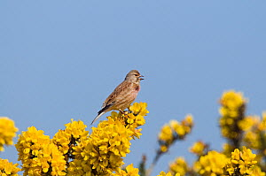 Linnet {Acanthis cannabina} female perched on gorse, UK - David Tipling