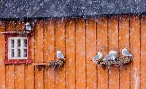 Kittiwakes {Rissa tridactyla} in blizzard, nesting on nest ledge on side of wooden building in Vado, Varanger, Finland, March 2006  -  David Tipling
