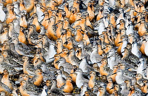 Large flock of Knot {Calidris canutus}, adults and juveniles, at high tide roost on island in gravel pit at Snettisham RSPB Reserve, Norfolk, UK, August - David Tipling