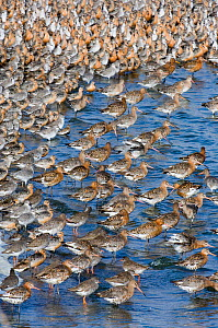 Mixed flock of Black-tailed Godwit {Limosa limosa} with Knot {Calidris canutus} and Redshank {Tringa totanus} at high tide roost, Snettisham RSPB Reserve, The Wash, Norfolk, UK, August - David Tipling