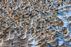 Large flock of Knot {Calidris canutus} at high tide roost, Snettisham RSPB Reserve, The Wash, Norfolk, UK, August  -  David Tipling