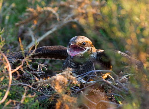 Nightjar {Caprimulgus europaeus} at nest in threat display towards advancing Adder, North Norfolk, UK, May  -  David Tipling