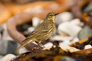 Rock Pipit {Anthus petrosus} on beach, Co Antrim, Northern Ireland, winter  -  David Tipling