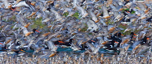 Mixed flock of Knot {Calidris canutus} and Oystercatcher {Haematopus ostralegus} at high tide roost, Snettisham RSPB Reserve, The Wash, Norfolk,UK, summer - David Tipling
