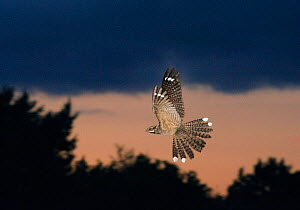 Nightjar {Caprimulgus europaeus} male in display flight at dusk, North Norfolk, UK, June - David Tipling