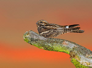 Nightjar {Caprimulgus europaeus} male churring on song post at dusk, North Norfolk, UK, June - David Tipling