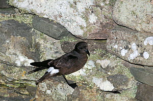 European Storm Petrel {Hydrobates pelagicus} at nest site on Mousa Broch, Shetland Islands, Scotland, UK  -  David Tipling