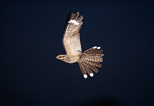 Nightjar {Caprimulgus europeaea} male in display flight at night, North Norfolk, UK,  June - David Tipling