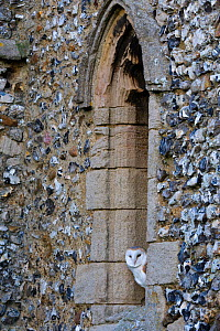 Barn Owl {Tyto alba} roosting in church window, North Norfolk, UK, December  -  David Tipling