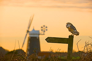 Barn Owl {Tyto alba} perched on public footpath signpost, Cley, North Norfolk, UK, December - David Tipling