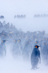 King Penguin {Aptenodytes patagonicus} colony huddled together during blizzard, Right Whale Bay, South Georgia, November - David Tipling