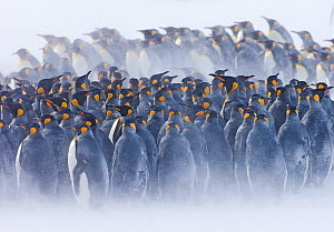 King Penguin {Aptenodytes patagonicus} colony huddled together during storm, Right Whale Bay, South Georgia, November - David Tipling