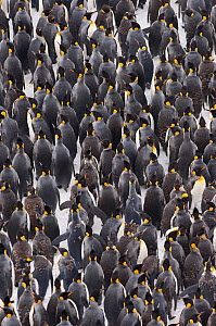 King Penguin {Aptenodytes patagonicus} colony huddled together during storm, adults and juveniles, Right Whale Bay, South Georgia, November - David Tipling