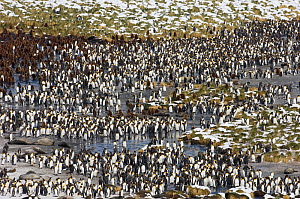 King Penguin colony {Aptenodytes patagonicus} and Elephant seals, Gold Harbour, South Georgia, November 2006  -  David Tipling