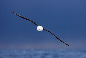 Black-browed albatross {Thalassarche melanophrys} in flight over the Southern Ocean, nr South Georgia, November  -  David Tipling