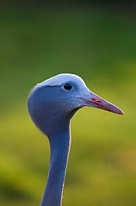 Blue Crane {Grus / Anthropoides paradisea} captive, National bird of South Africa - David Tipling