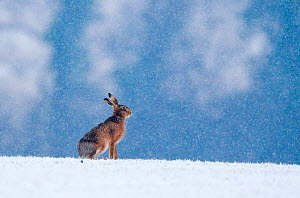 European brown hare {Lepus europaeus} on winter wheat field in snow, Norfolk, UK, January. Small repro only  -  David Tipling