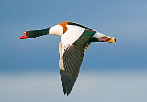 Male Shelduck (Tadorna tadorna) in flight, Gloucestershire, UK  -  David Tipling