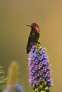 Anna's hummingbird (Calypte anna) perched on flower head, San Diego, California, USA, April  -  David Tipling