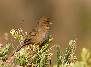 California towhee (Pyrgisoma crissale) Bolsa Chica, California, USA  -  David Tipling