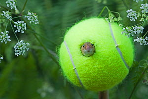 Harvest mouse (Micromys minutus) looking out of tennis ball being used as nest in a nature reserve, Norfolk, UK, June - David Tipling