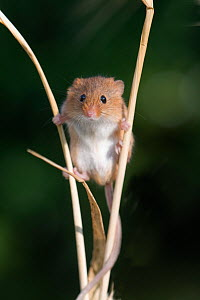 Harvest mouse (Micromys minutus) on Barley, Norfolk, UK, July - David Tipling