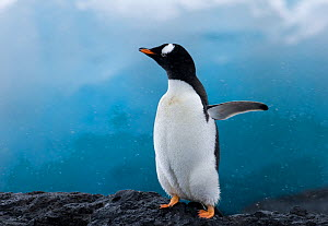 Gentoo penguin (Pygoscelis papua) flapping wings on rock, Brown Bluff, Antarctica - David Tipling