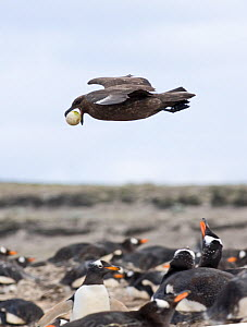 Falkland / Brown skua (Stercorarius antarcticus) in flight carrying a stolen Gentoo penguin egg (Pygoscelis papua) Sea Lion Island, Falklands  -  David Tipling
