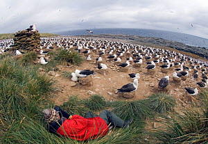 Black browed albatross (Thalassarche / Diomedea  melanophrys) colony incubating eggs with a tourist in foreground photographing, Steeple Jason Island, Falklands, November 2006  -  David Tipling