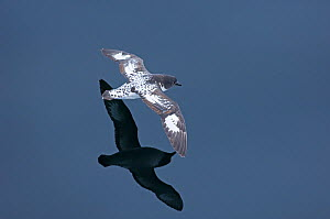 Cape / Pintado petrel (Daption capense) in flight low over water, Southern Ocean off Chile, November  -  David Tipling