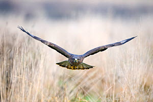 Common buzzard (Buteo buteo) in flight, captive, Gloucestershire, UK - David Tipling