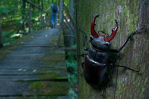 Male Stag beetle {Lucanus cervus} on a post with a hiker walking crossing a wooden bridge in the background, Codrii Reserve, Central Moldova, June 2009 - Wild Wonders of Europe / Geslin