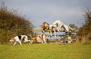 Modern foxhounds happily jump a fence at the opening meet of the Quorn Hunt, in Leicestershire, England, UK.  October 2009  -  Kristel Richard
