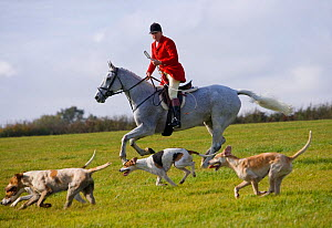 A whipper-in, wearing the traditional hunting attire, and the modern foxhounds run at the opening meet of the Quorn Hunt, in Leicestershire, England, UK.  October 2009  -  Kristel Richard