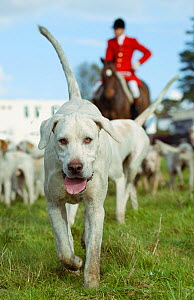 A foxhound walks ahead of the huntsman at the opening meet of the Quorn Hunt, in Leicestershire, England, UK.  October 2009 - Kristel Richard